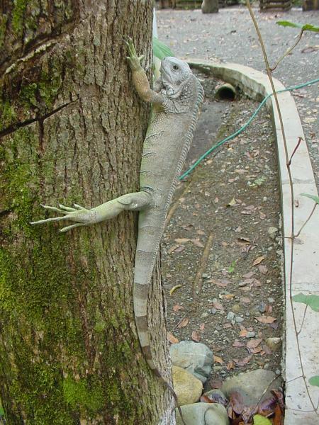 Iguana iguana.jpg